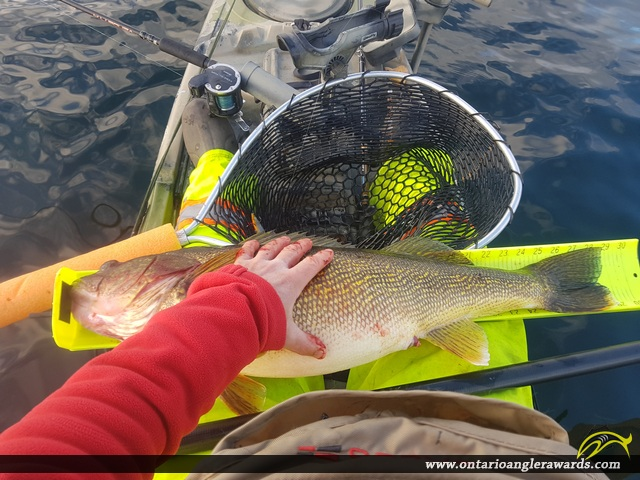 """29"""" Walleye caught on Bay of Quinte"""