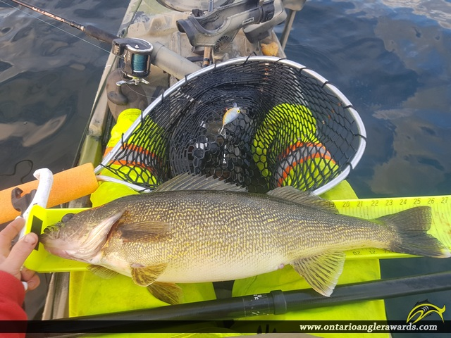 """26.25"""" Walleye caught on Bay of Quinte"""