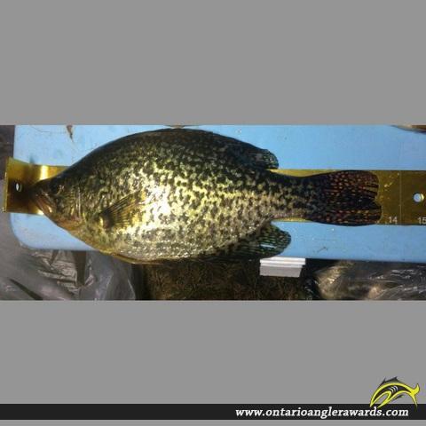 "13.75"" Black Crappie caught on Big Rideau Lake"