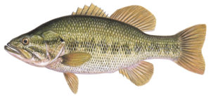 Largemouth Bass illustration - Curtis Atwater