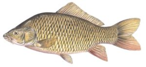Carp illustration - Curtis Atwater