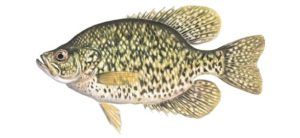 Black Crappie illustration - Curtis Atwater
