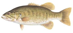 Smallmouth Bass illustration - Curtis Atwater