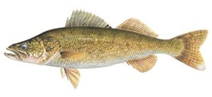Walleye illustration - Curtis Atwater