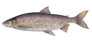 Whitefish illustration - Curtis Atwater